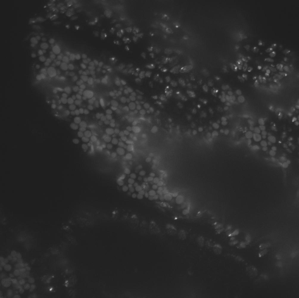 embryoA_DAPI